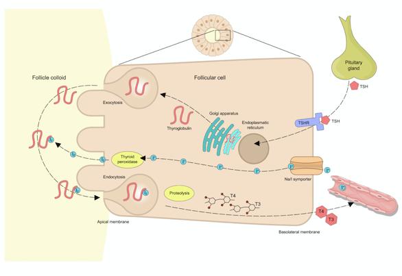 Síntesis de hormonas tiroides