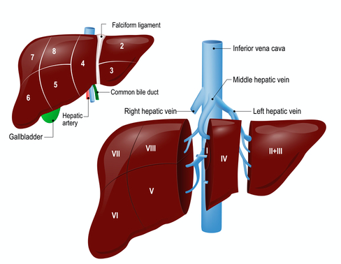 Partes anatómicas del hígado