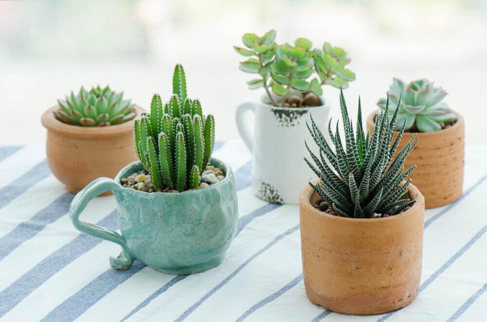 Plantas suculentas.