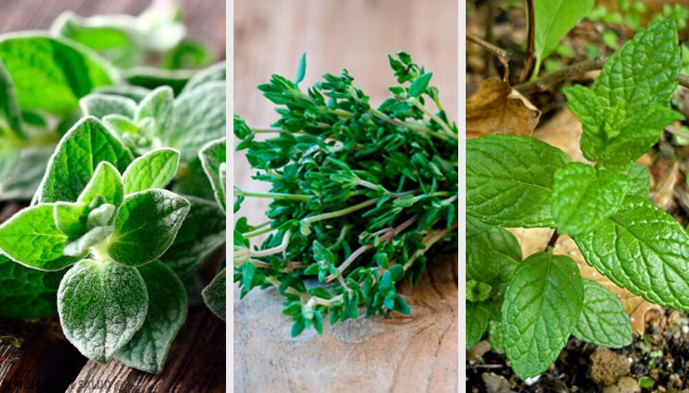 Resultado de imagen para plantas aromaticas