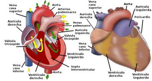 Circulación sanguínea.