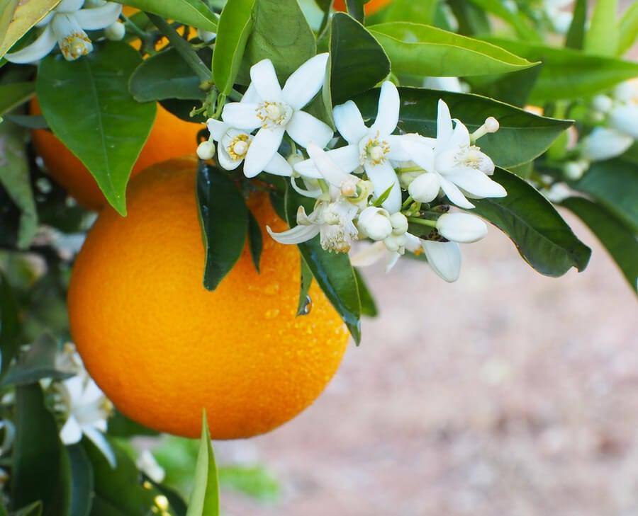 La flor de azahar tiene un aroma particular.
