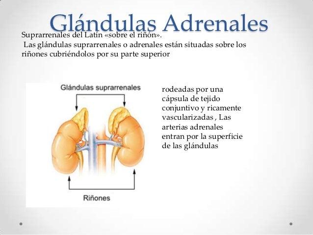 glandulas adrenales que median en la fatiga adrenal