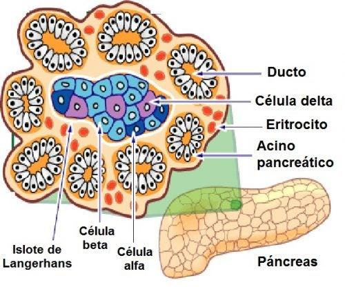 Las células del páncreas