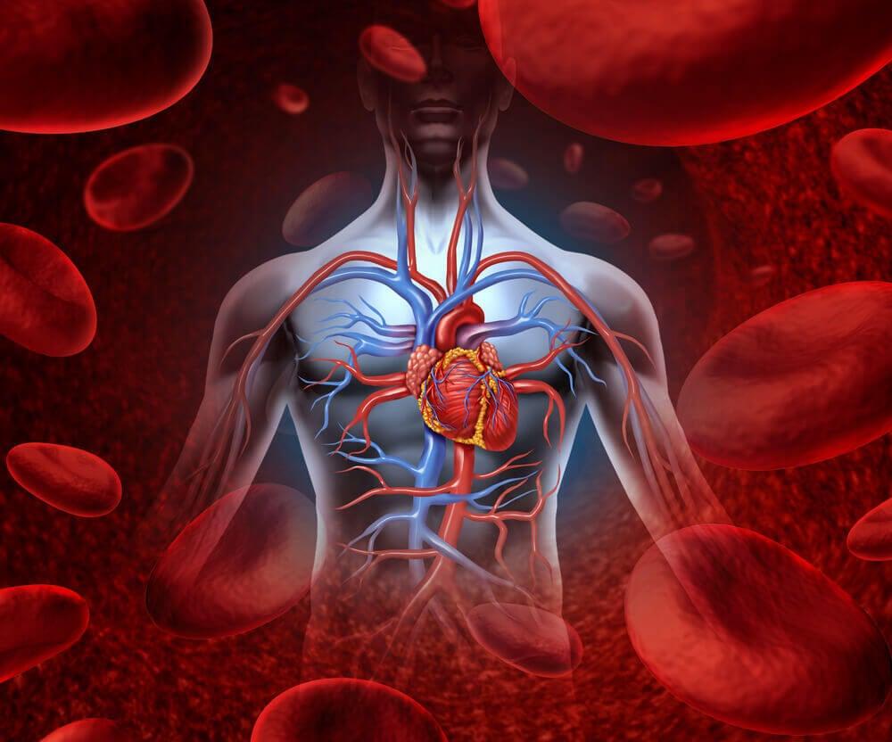 El corazón, la bomba del cuerpo.