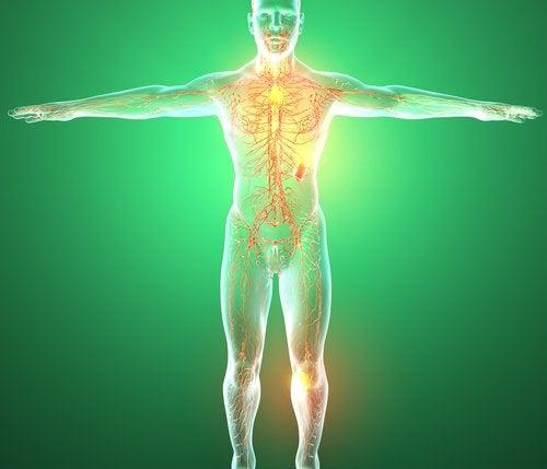 Órganos que forman parte del sistema linfático