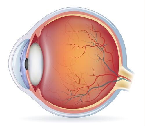 La anatomía del ojo en la capa media