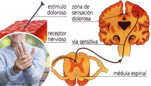 Nociceptores: los receptores del dolor