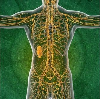 Sistema linfático 4 datos interesantes que te gustará conocer