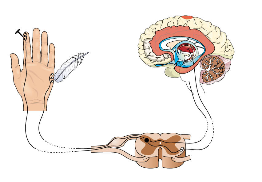 Nociceptores: los receptores del dolor. – Mejor con Salud