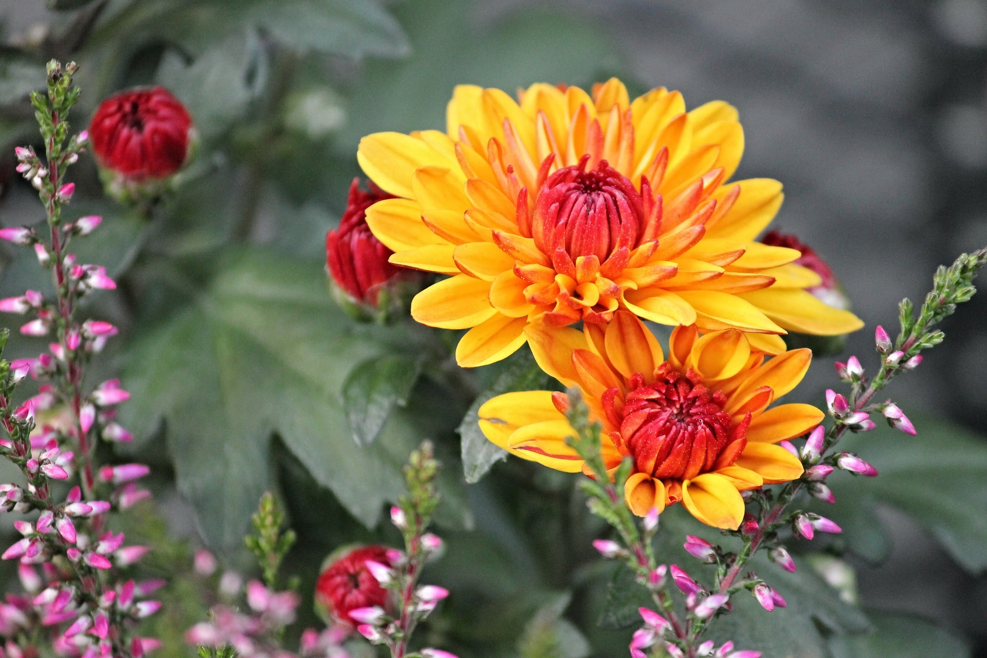 Los crisantemos son un gran repelente natural contra las pulgas