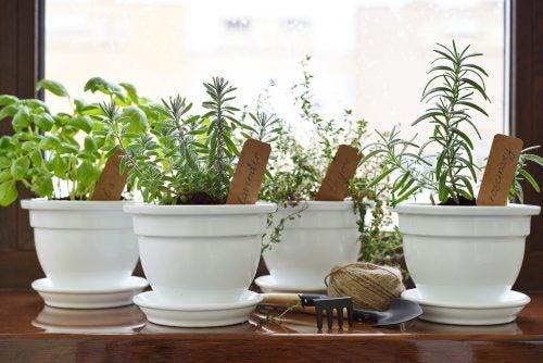 plantas aromáticas termorreceptores