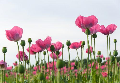 Qué es el opio, la morfina