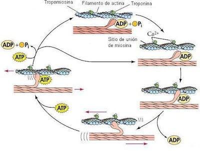 Cómo funciona la contracción en el músculo estriado