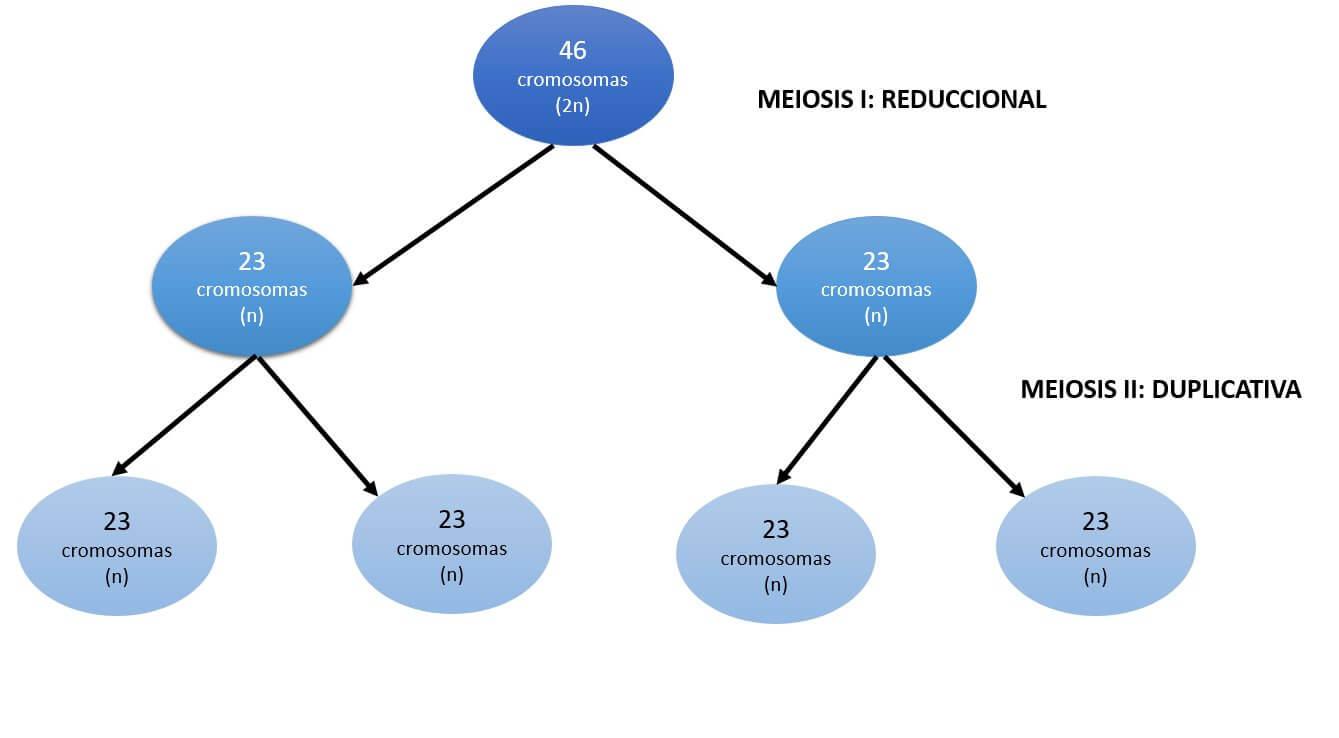 Síndrome de Turner. Meiosis