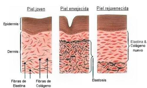 Colágeno y elastina