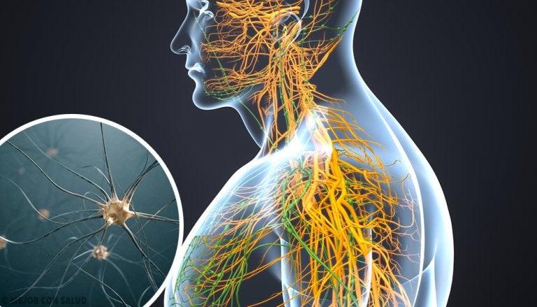 El sistema nervioso simpático
