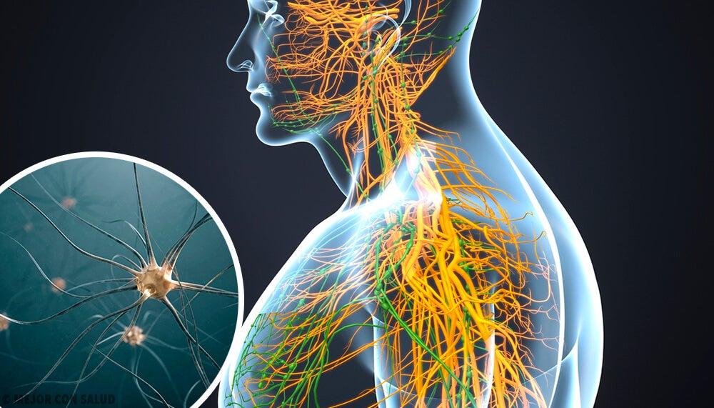 Recreación digital de los nervios del ser humano.