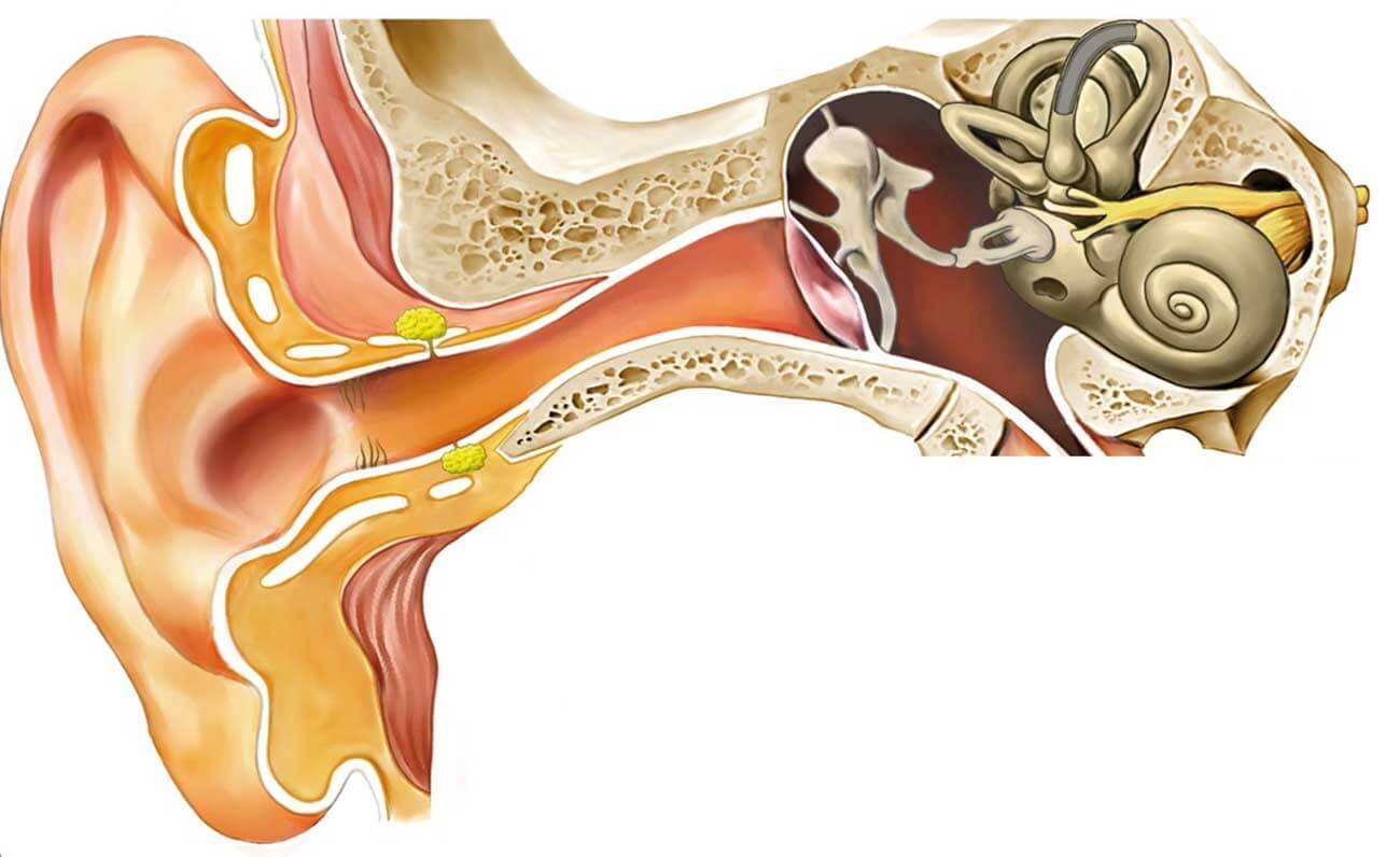 Fisiología del oído - Mejor con Salud