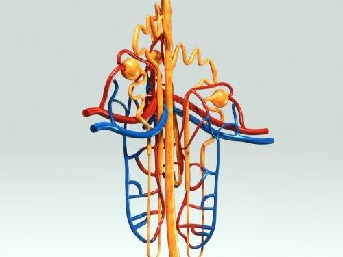 Funciones de la angiotensina II