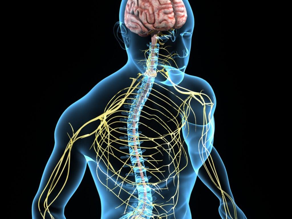 Funciones del sistema nervioso autónomo