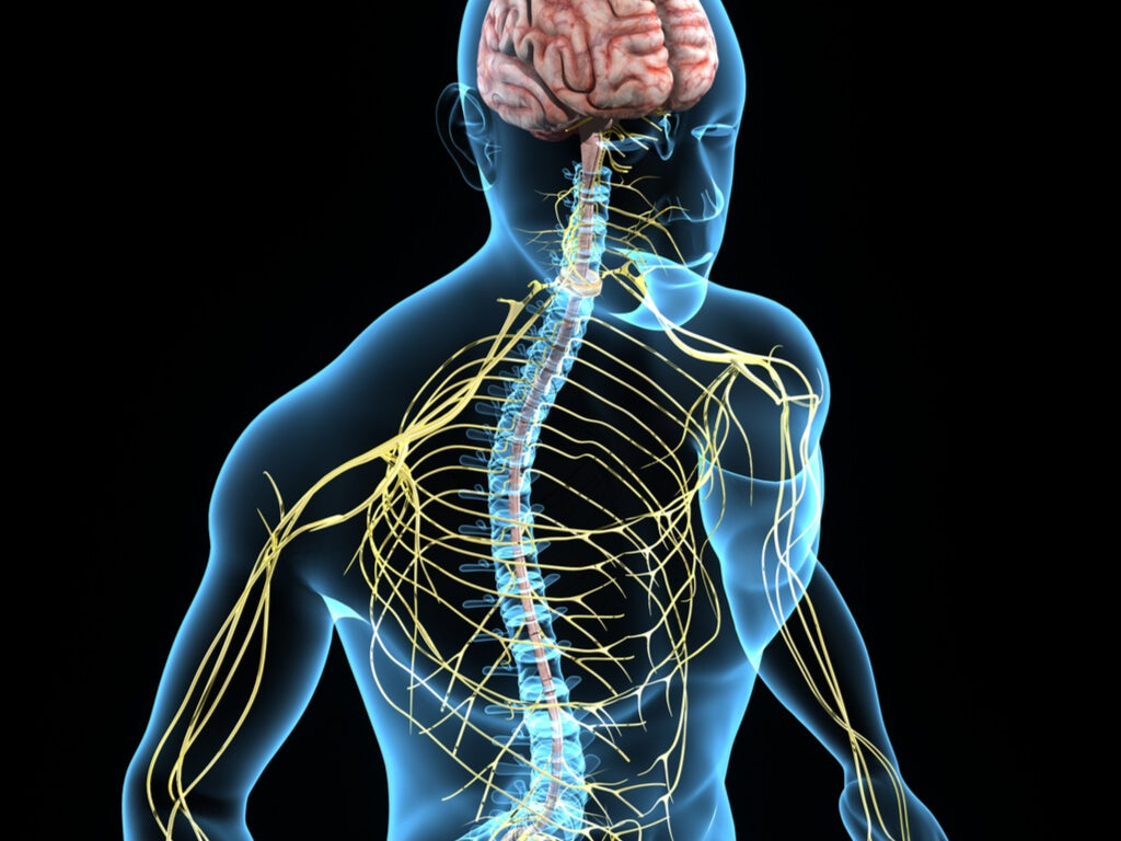 Recreación del sistema nervioso