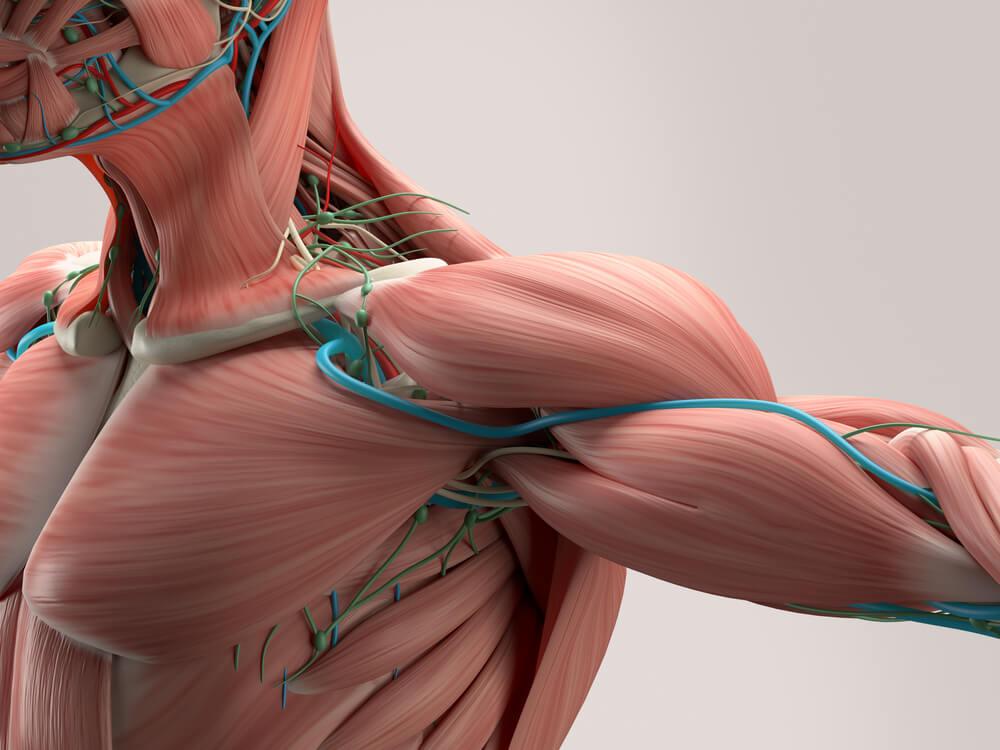 huso mucular y músculos