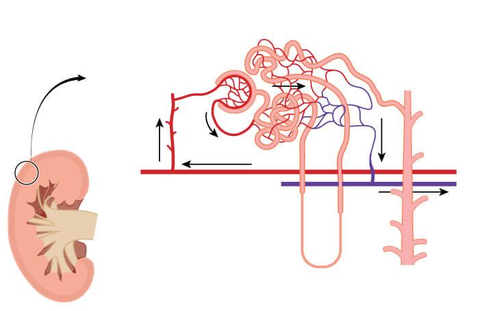 La tasa de filtración glomerular