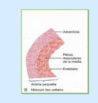 EL músculo liso unitario.