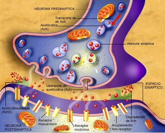 Placa neuromuscular 2