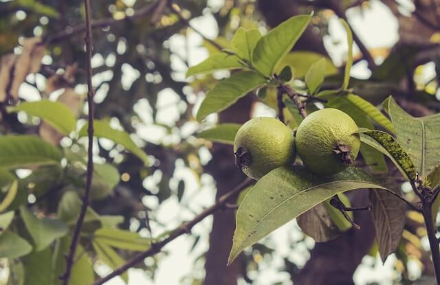 Remedio con hojas de guayaba