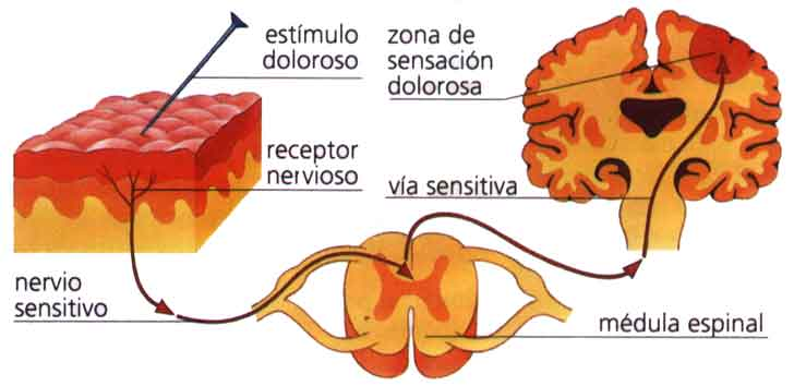 Anatomía y fisiología del dolor