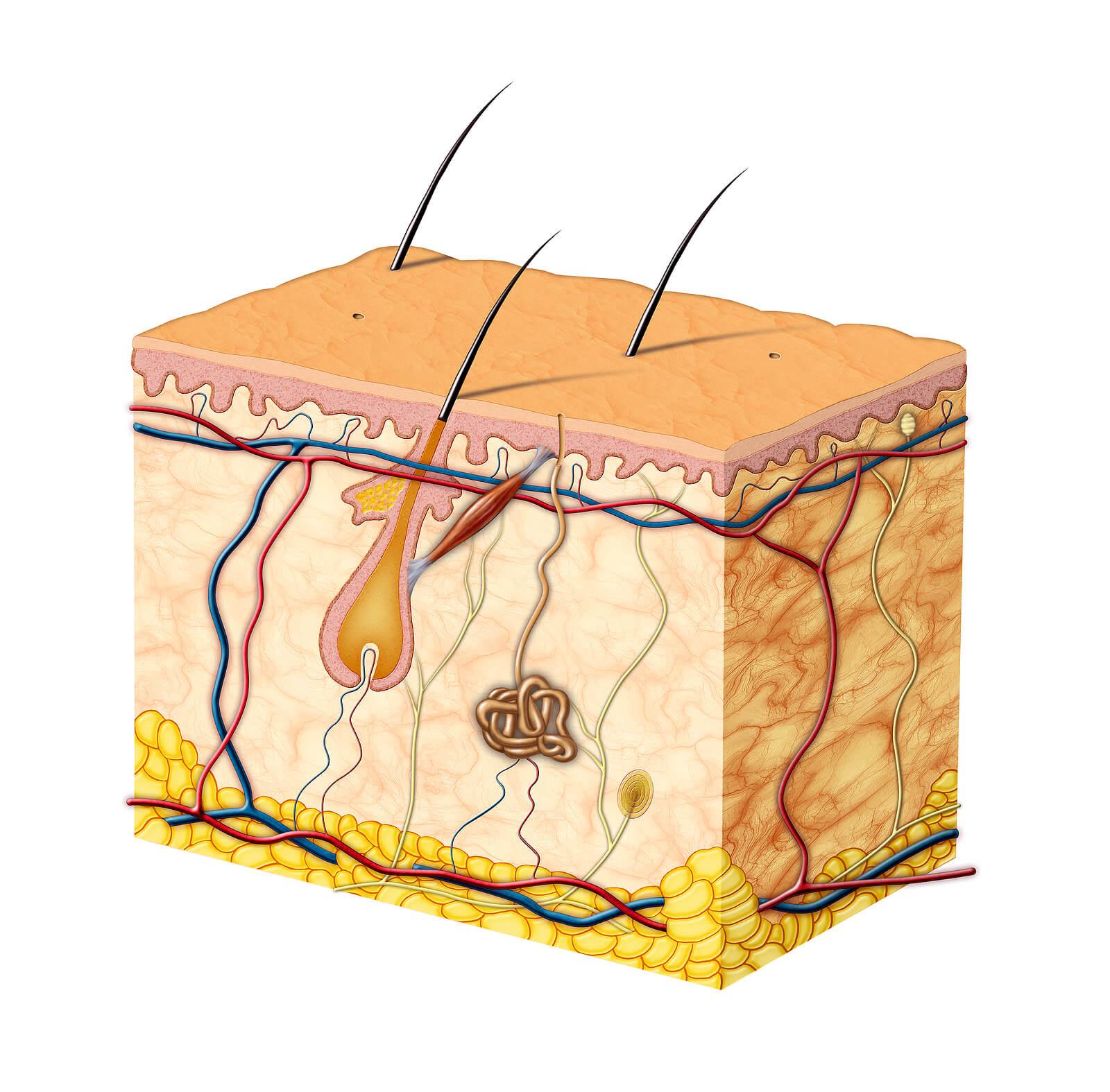 Anatomía de la piel.