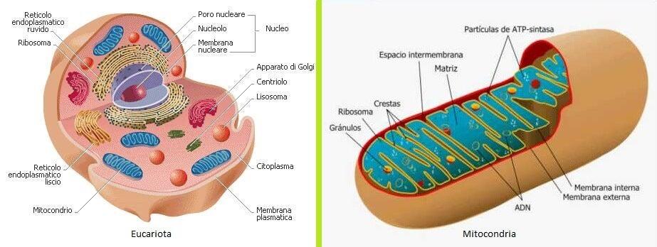 ciclo de krebs eucariota