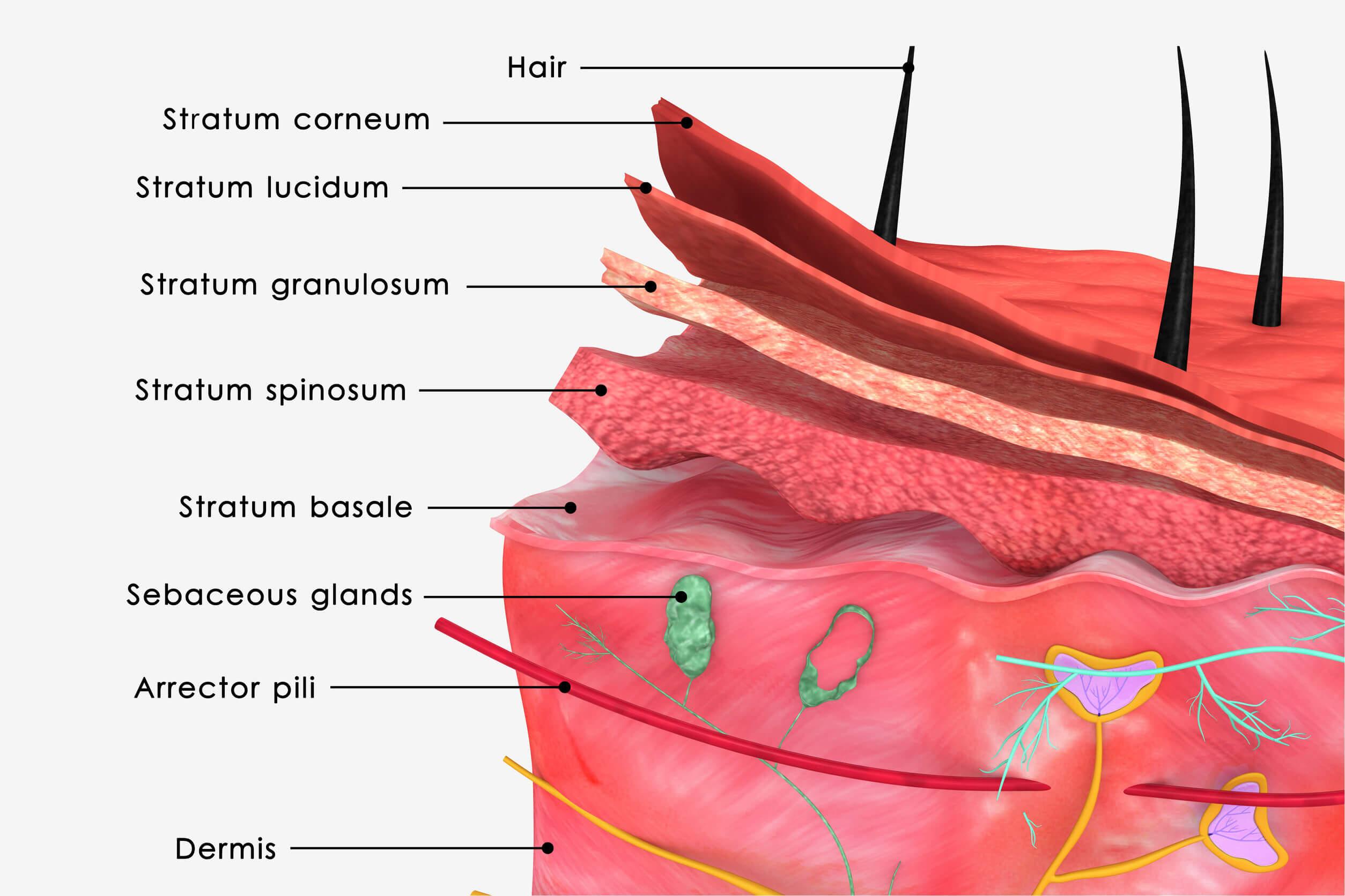 La epidermis es la parte más superficial de la piel, en estrecho contacto con estructuras vitales para la anatomía del tacto.