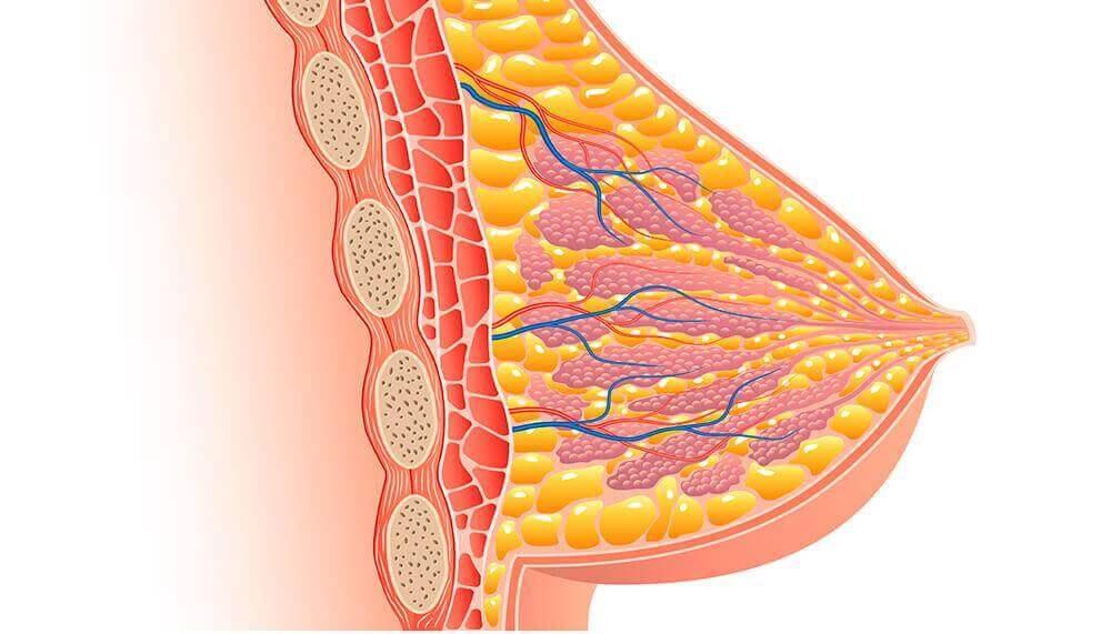 Fisiología de la lactancia: mama.