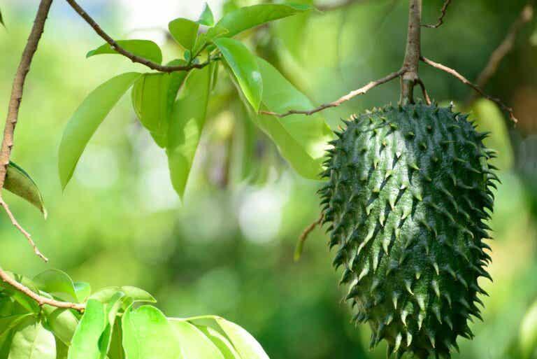 7 buenas razones para incluir guanábana en tu dieta