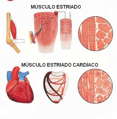 músculo estriado 6