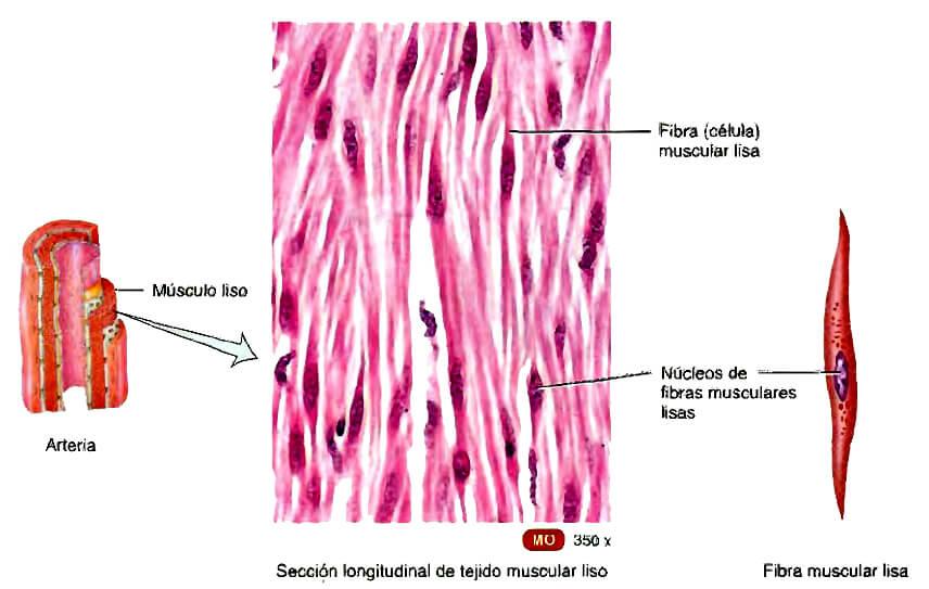 Contracción del músculo liso – Mejor con Salud