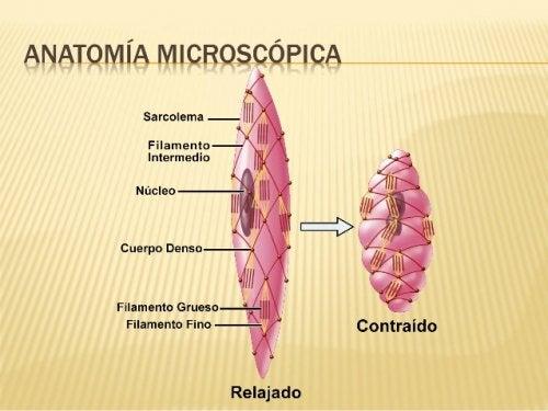 Anatomía del músculo liso.