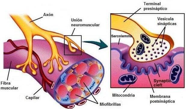La neurona motora forma parte de la placa neuromuscular