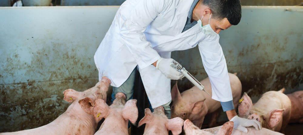 Transmisión peste porcina
