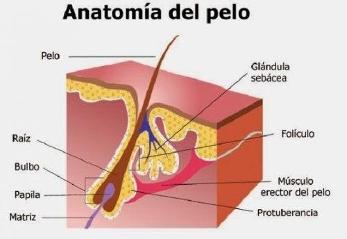 Anatomía del folículo piloso