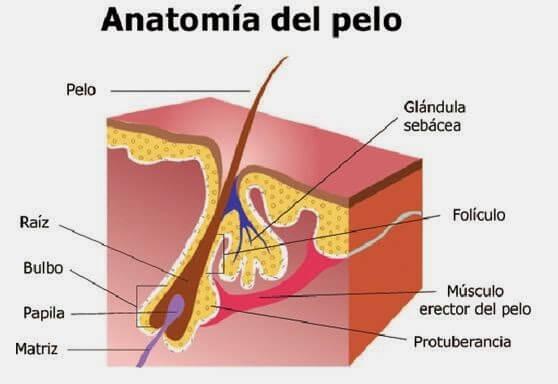 Anatomía y función del folículo piloso – Mejor con Salud