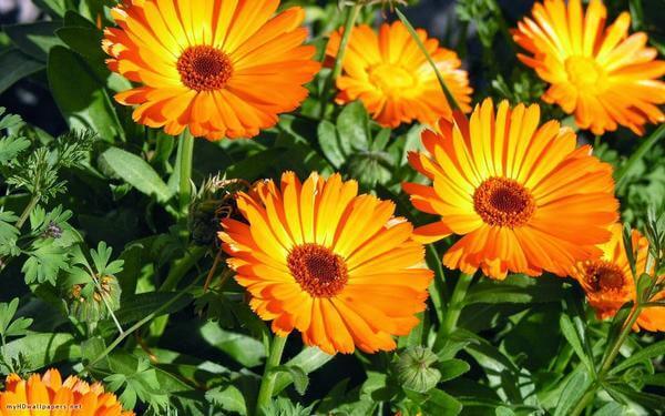 Cómo hacer tu propio cultivo de caléndula en casa