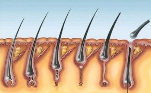 El ciclo de crecimiento del pelo