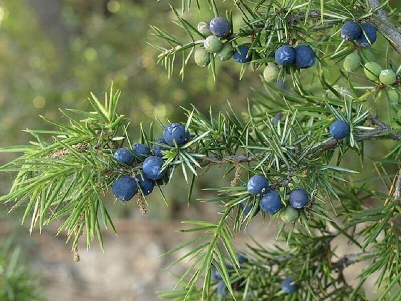 Enebro (Juniperus communis)