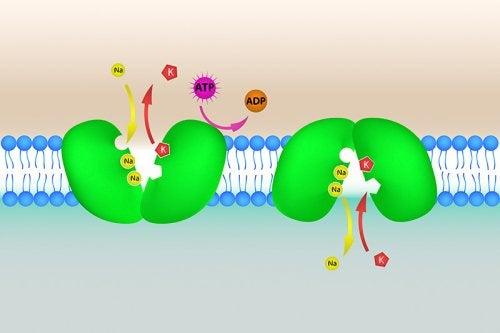 Bomba de potasio en la célula. Implicación en la hiperpotasemia
