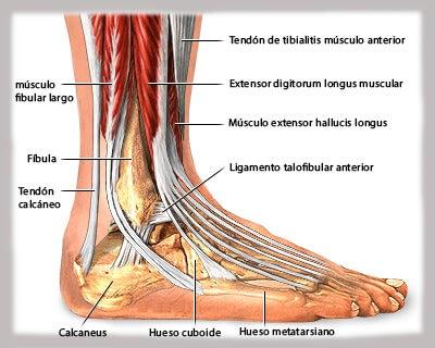 Los ligamentos