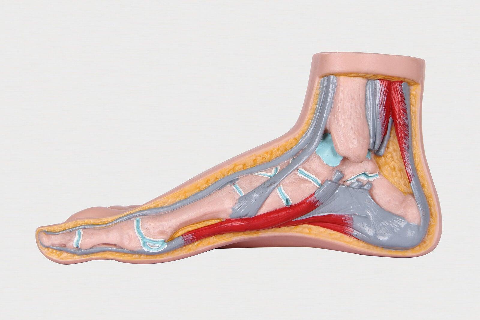 Anatomía del pie.